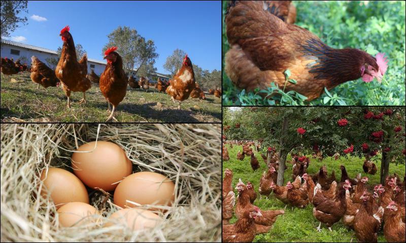 Kaliteli Yumurtaların Farkı Nedir